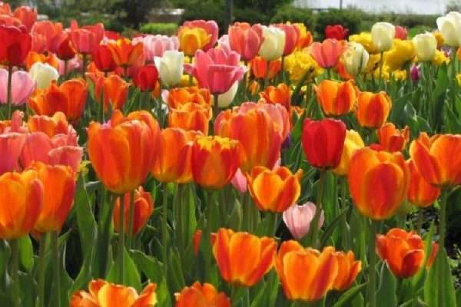 Tulips at Congdon Gardens in Delavan, WI